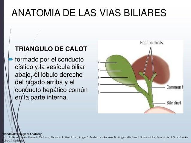 Anato vias biliares