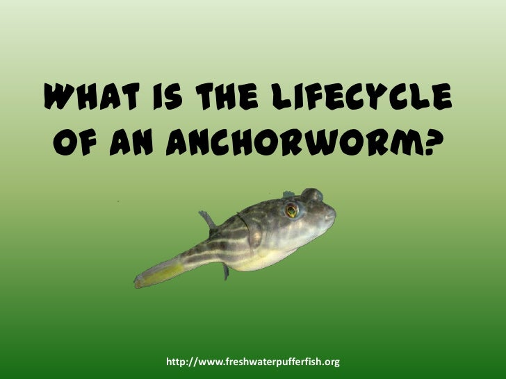 How to treat a freshwater puffer for anchorworms for Anchor worm on fish
