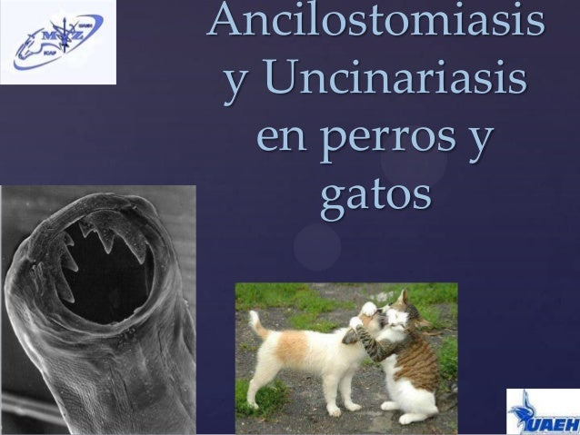 {Ancilostomiasisy Uncinariasisen perros ygatos