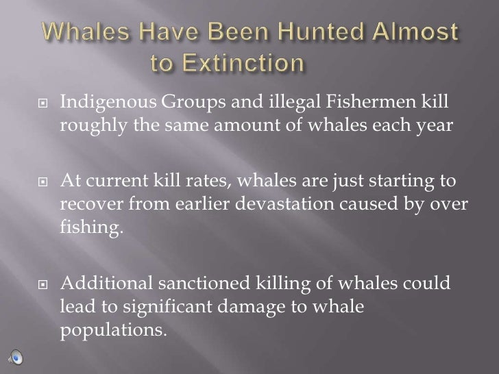 Whales Have Been Hunted Almost to Extinction<br />Indigenous Groups and illegal Fishermen kill roughly the same amount of...