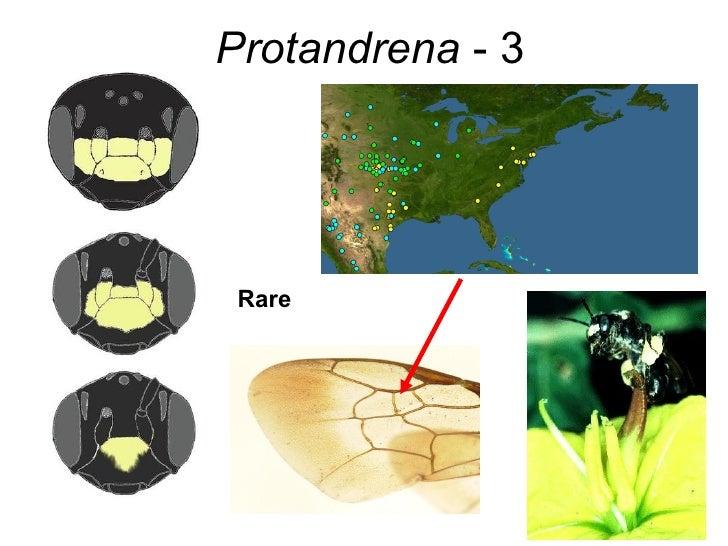 Protandrena  - 3 Rare