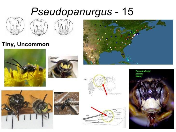 Pseudopanurgus  - 15 Tiny, Uncommon