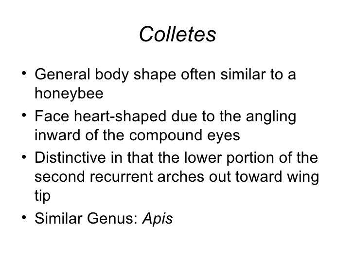 Colletes <ul><li>General body shape often similar to a honeybee </li></ul><ul><li>Face heart-shaped due to the angling inw...