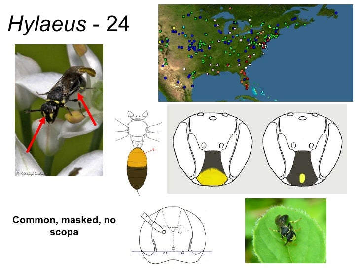 Hylaeus  - 24 Common, masked, no scopa