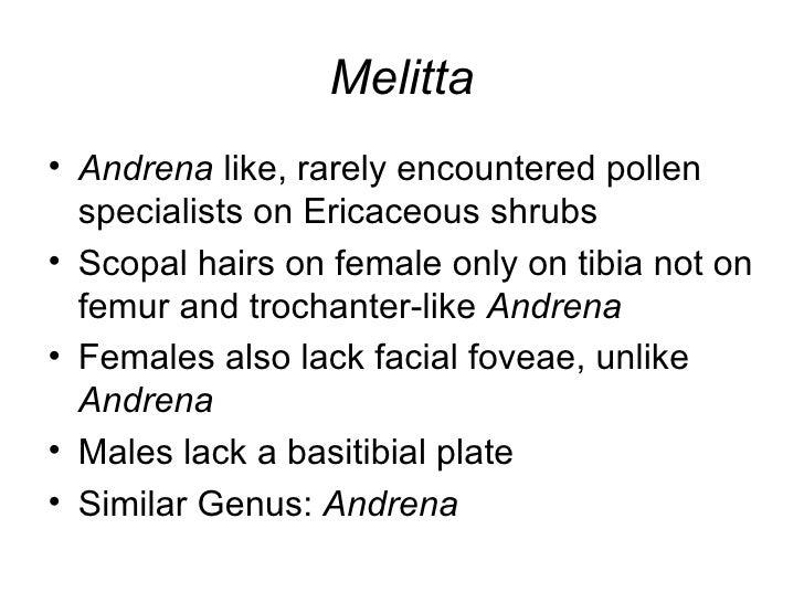Melitta <ul><li>Andrena  like, rarely encountered pollen specialists on Ericaceous shrubs </li></ul><ul><li>Scopal hairs o...