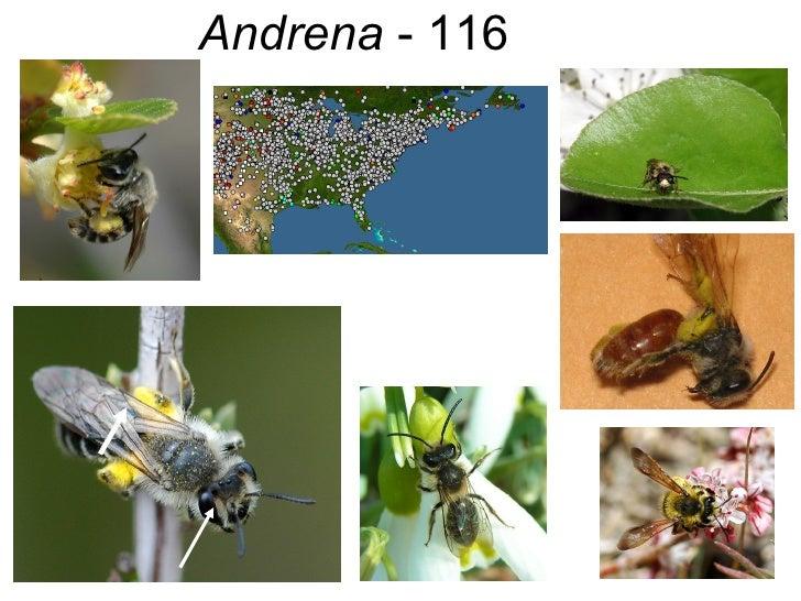Andrena  - 116