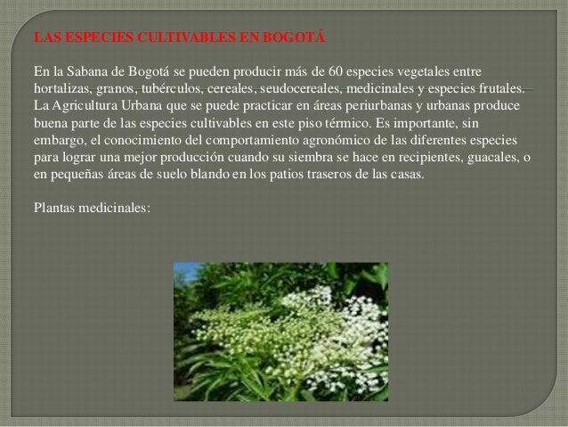 LAS ESPECIES CULTIVABLES EN BOGOTÁEn la Sabana de Bogotá se pueden producir más de 60 especies vegetales entrehortalizas, ...
