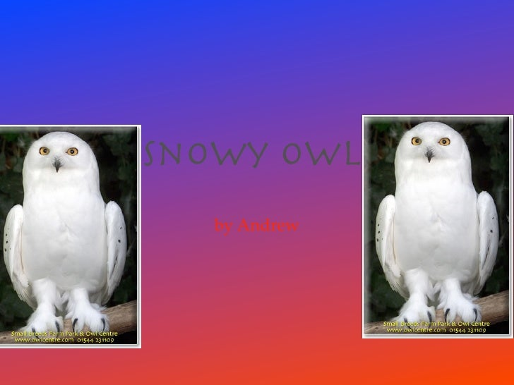 Snowy owl   by Andrew