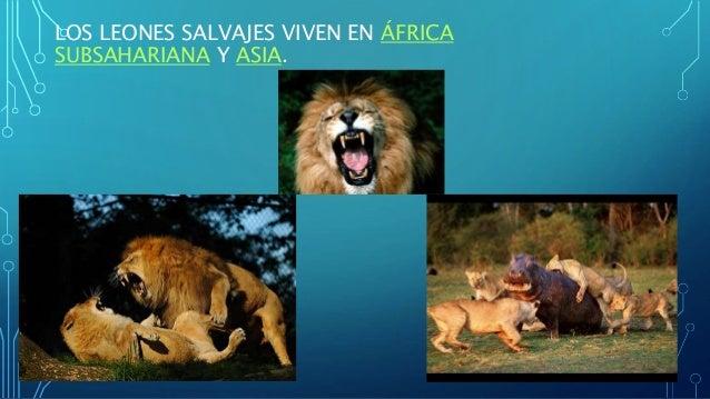 LOS LEONES SALVAJES VIVEN EN ÁFRICA SUBSAHARIANA Y ASIA.