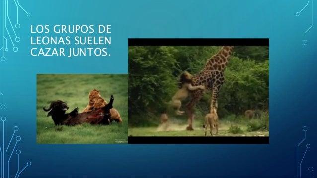 LOS GRUPOS DE LEONAS SUELEN CAZAR JUNTOS.