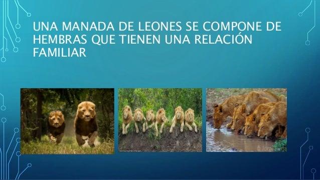 UNA MANADA DE LEONES SE COMPONE DE HEMBRAS QUE TIENEN UNA RELACIÓN FAMILIAR