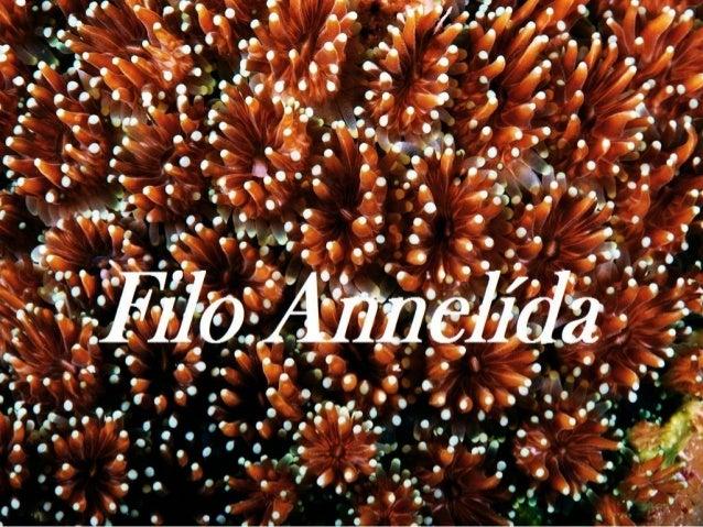 Filo Annelida O filo Annelida (do latim annellus, anel) reúne os anelídeos, animais de corpo alongado por segmentos ou ané...