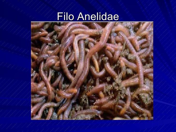 Filo Anelidae