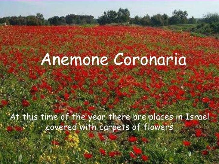 Anemone CoronariaAt this time of the year there are places in Israel          covered with carpets of flowers