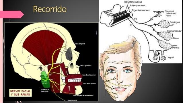 Ramas dentro del hueso temporal  Nervio Petroso mayor: Suple Inervación parasimpática a la glándula lagrimal, a los senos...