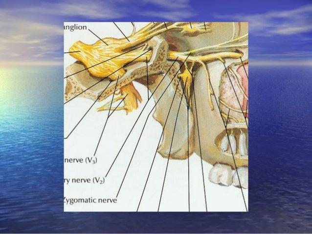 Nhánh hàm dưới (V3):Nhánh hàm dưới (V3): • Phân nhánh:Phân nhánh: – Rễ cảm giác và vận động đi ra khỏi sọ từ lổRễ cảm giác...