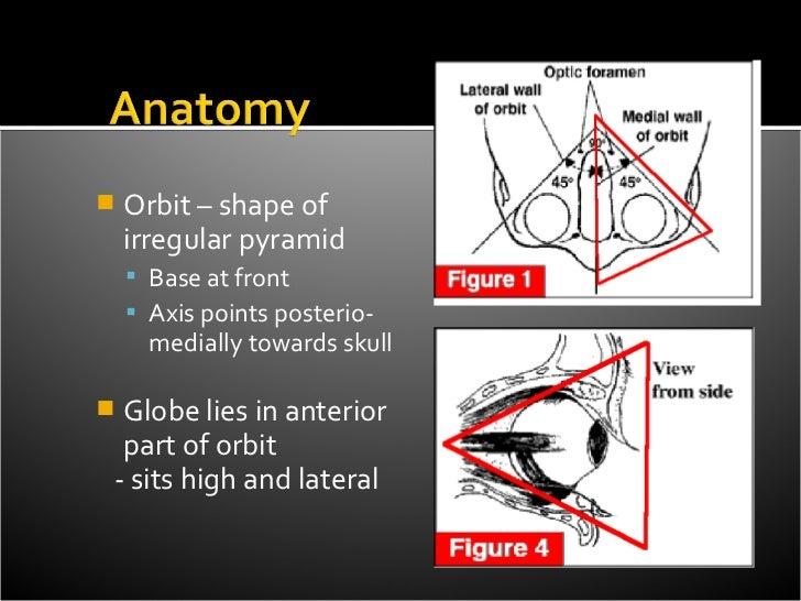    Orbit – shape of    irregular pyramid     Base at front     Axis points posterio-      medially towards skullGlobe ...