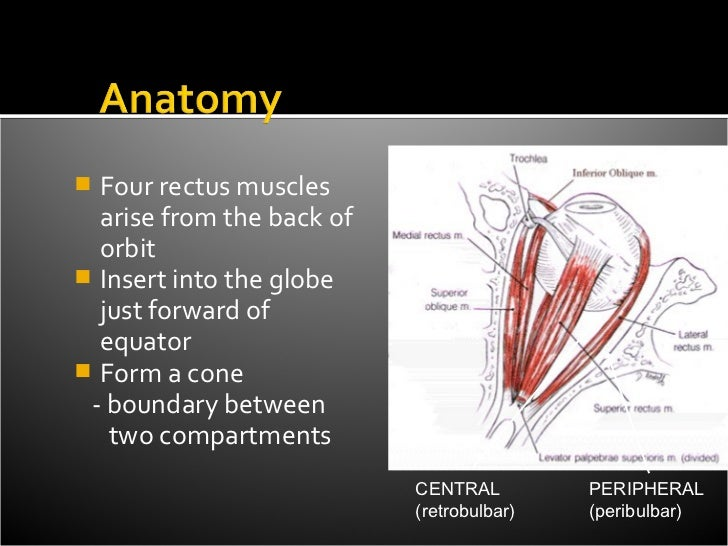  Four rectus muscles  arise from the back of  orbit Insert into the globe  just forward of  equator Form a cone - bound...