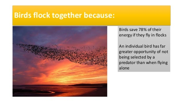 Birds flock together because: Birds save 78% of their energy if they fly in flocks An individual bird has far greater oppo...