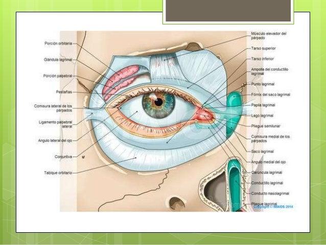 Anexos del ojo: parpado