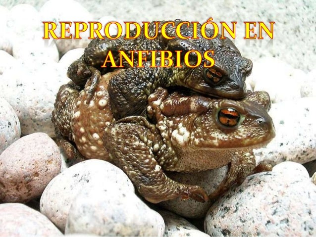 Reproduccion en anfibios for Reproduccion en peces