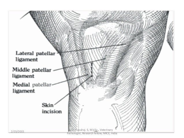 Angels Presenting Chronic Patellar Luxation In Cattle Pavul
