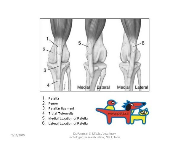 Angels presenting chronic patellar luxation in cattle.by pavul