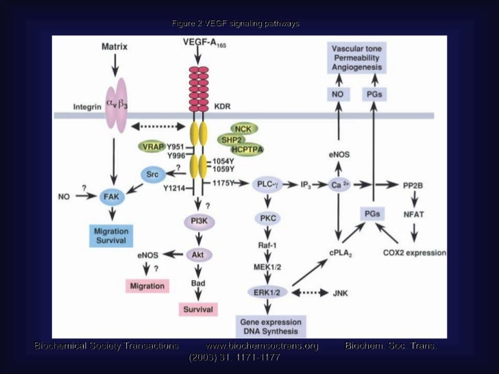 Platelet-derived growth factor• The platelet-derived growth factor (PDGF)  regulates       the recruitment of pericytes a...