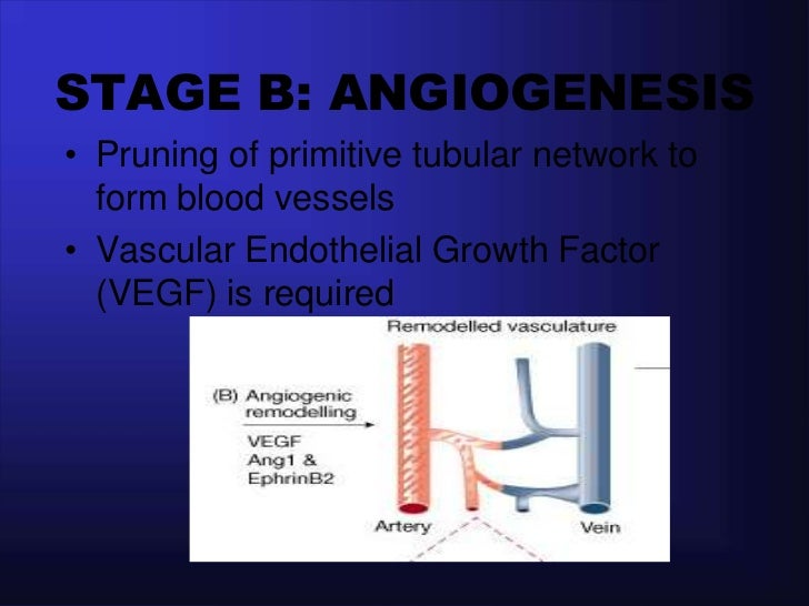 STAGE C: STABILIZATION   AND MATURATION Endothelial cells integrate  tightly with supporting cells  such as smooth muscle...