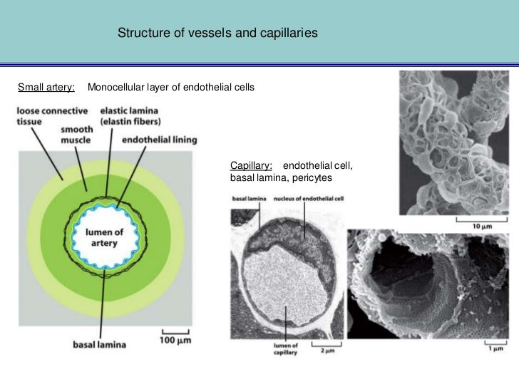 Angiogenesis:Sprouting of cells from mature endothelial cells of the vessel wall                                          ...