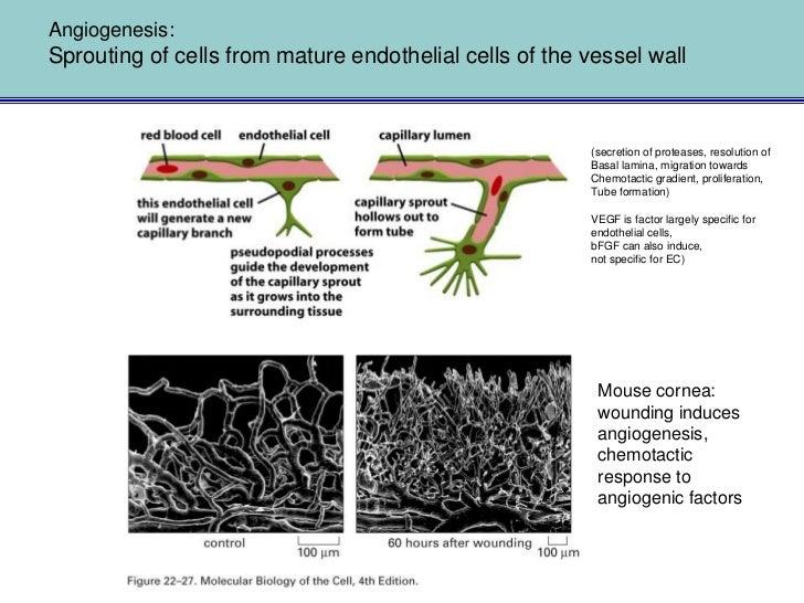Sprouting towards chemotactic gradient: VEGF