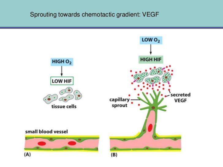 Hypoxia - HIF - VEGFevery cell must be within 50 to 100 m of a capillary               HIF: hypoxia inducible factor      ...