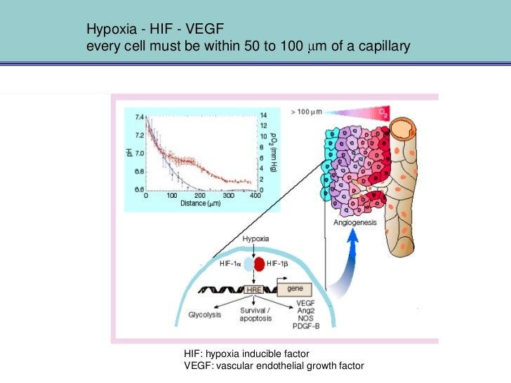 Von Hippel-Lindau Tumor Suppressor, HIF and VEGF                                             VEGF-gene:                   ...