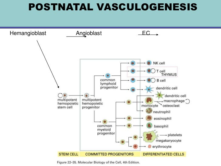 TUMOR ANGIOGENESIS     So, the extracellular matrix isdegraded       An increased concentration ofvarious                 ...
