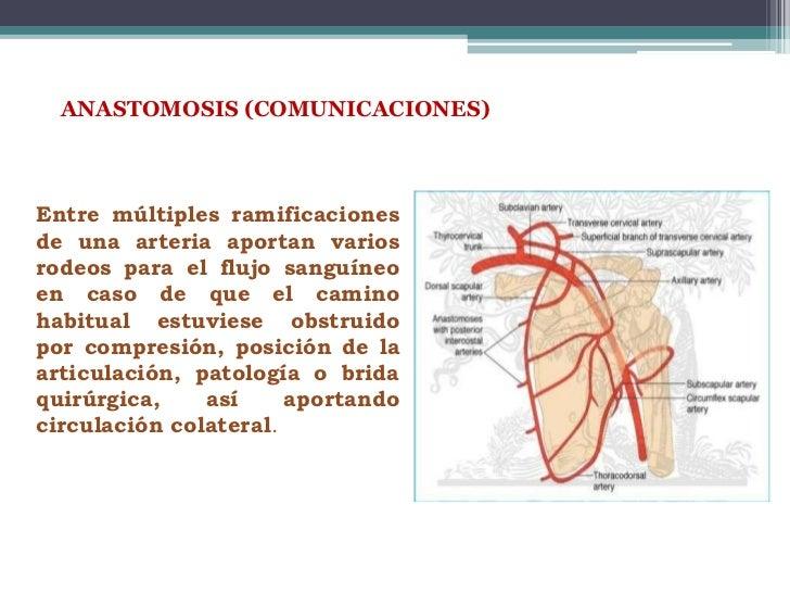 ANASTOMOSIS (COMUNICACIONES)Entre múltiples ramificacionesde una arteria aportan variosrodeos para el flujo sanguíneoen ca...