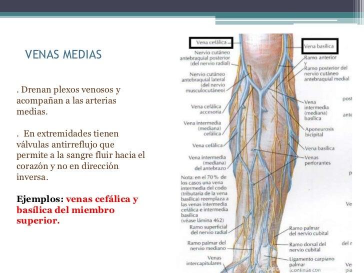 VENAS MEDIAS. Drenan plexos venosos yacompañan a las arteriasmedias.. En extremidades tienenválvulas antirreflujo quepermi...