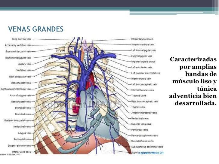 VENAS GRANDES                Caracterizadas                   por amplias                     bandas de                 mú...