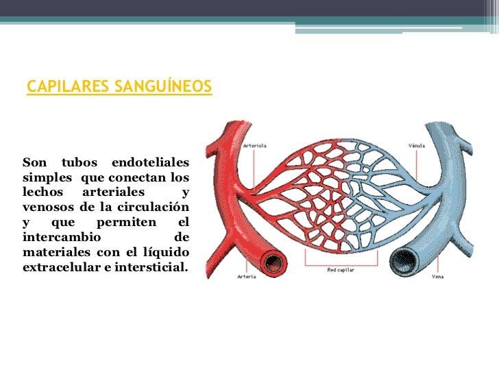 CAPILARES SANGUÍNEOSSon tubos endotelialessimples que conectan loslechos   arteriales        yvenosos de la circulacióny  ...