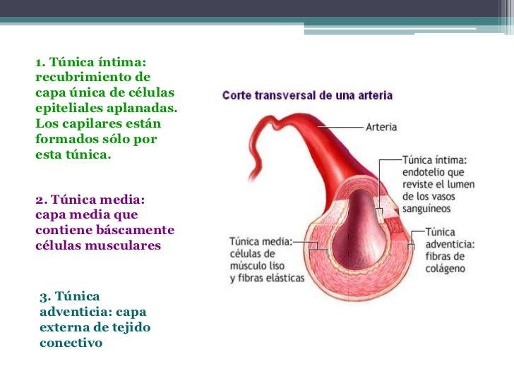 1. Túnica íntima:recubrimiento decapa única de célulasepiteliales aplanadas.Los capilares estánformados sólo poresta túnic...