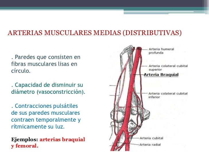 ARTERIAS MUSCULARES MEDIAS (DISTRIBUTIVAS). Paredes que consisten enfibras musculares lisas encírculo.. Capacidad de dismi...
