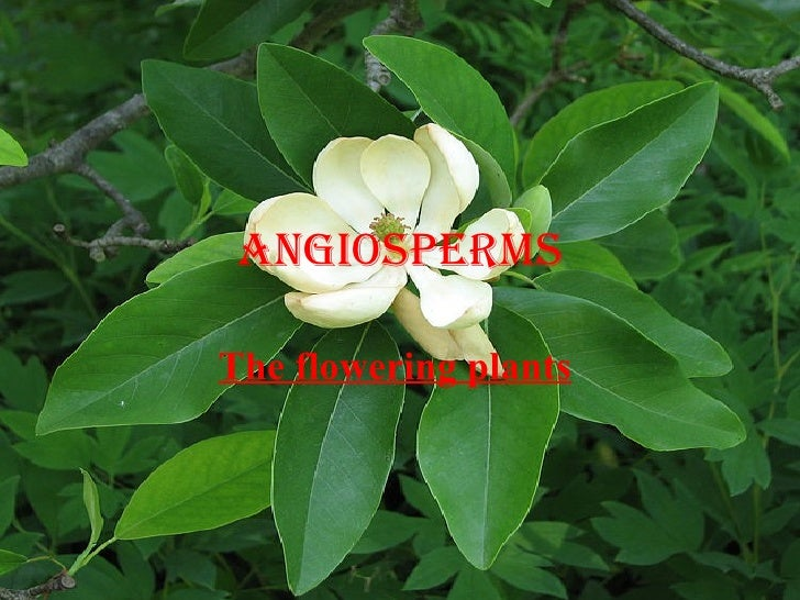 Angiosperms The flowering plants
