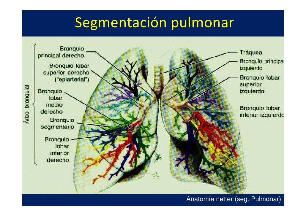 Perfecto Anatomía Vascular Pulmonar Inspiración - Imágenes de ...