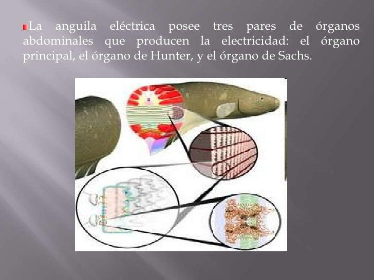 Anguila electrica