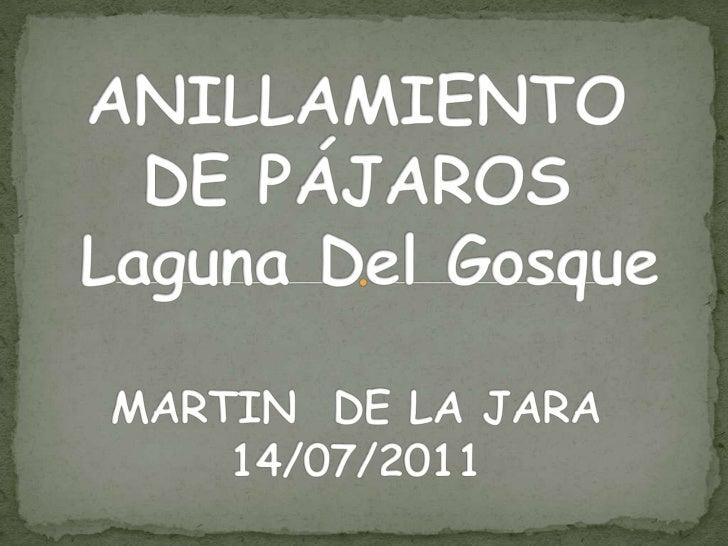 ANILLAMIENTO DE PÁJAROS  Laguna Del GosqueMARTIN  DE LA JARA 14/07/2011<br />