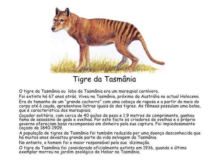 Tigre da Tasmânia<br />O tigre da Tasmânia ou  lobo da Tasmânia era um marsupial carnívoro.<br />Foi extinto há 67 anos at...