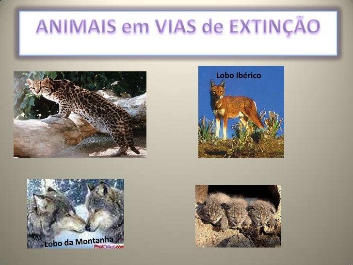 ANIMAIS em VIAS de EXTINÇÃO<br />Lobo Ibérico<br />Lobo da Montanha<br />