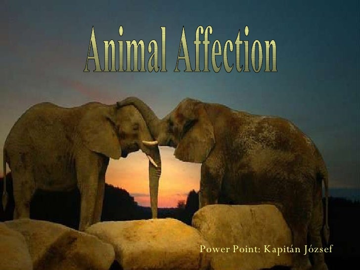 Animal Affection Power Point: Kapitán József