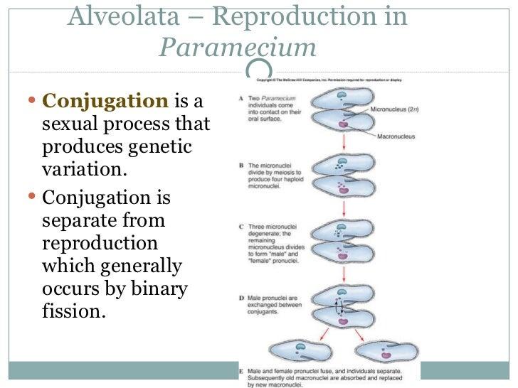 binary fission and conjugation