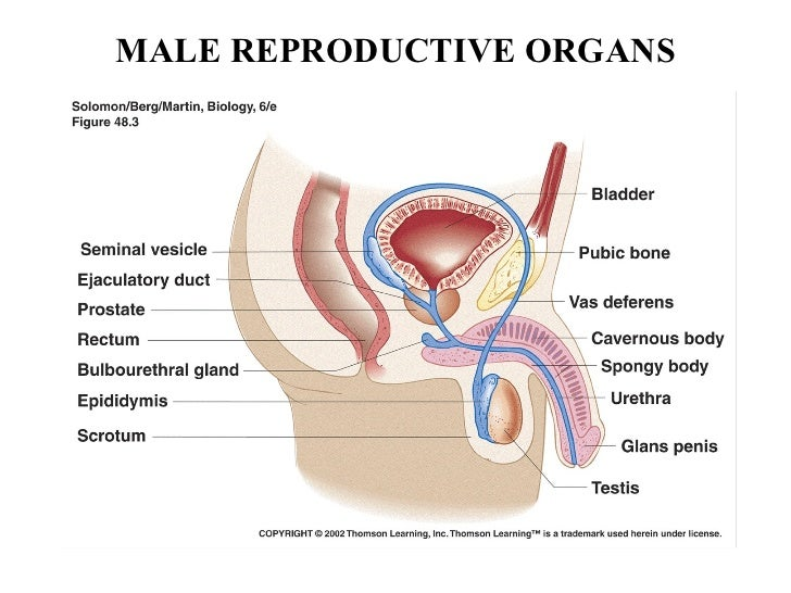 Male Reproductive System Diagram Butterfly Circuit Connection