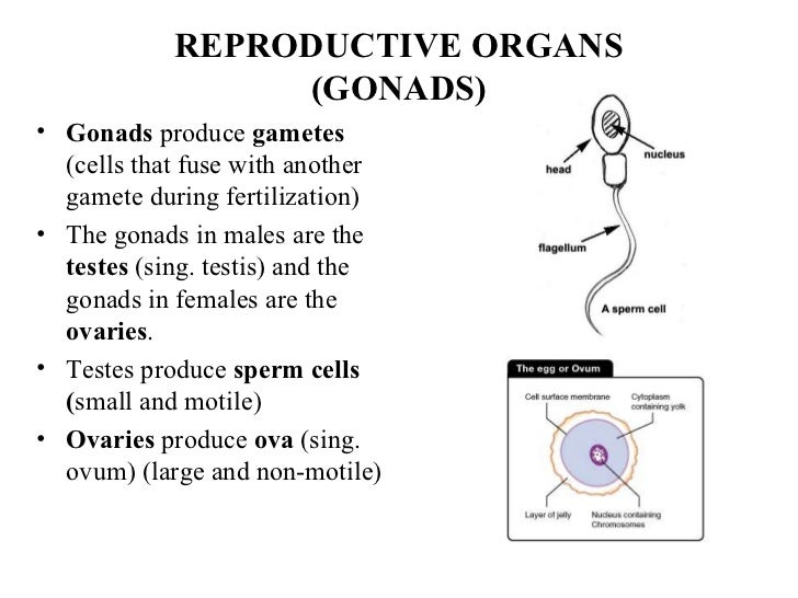 Animal reproduction reproductive organs ccuart Images